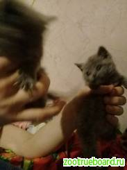 Вязка :  Шотландский кот для вязки -красавец