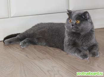 Вязка с Шотландским котом.  Скотиш страйт.  Родословная.  Опытнвй