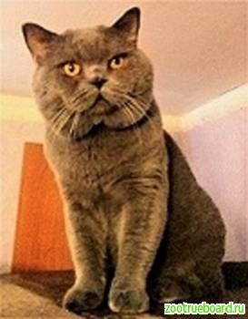 Вязка с Шотландским Прямоухим Опытным котом