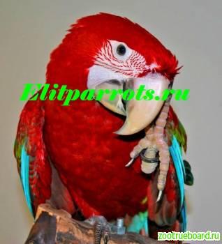 Зеленокрылый ара (Ara chloroptera)  - ручные птенцы из питомников